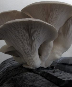 oyster mushrooms funguys