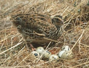 quail and eggs
